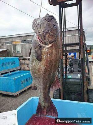 牛滝漁港で水揚げされ、その後、佐井漁港に運ばれた129キロの巨大魚(佐井村漁協提供)