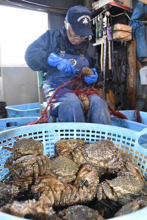 水揚げされたトゲクリガニ。今年の陸奥湾での漁獲金額は初めて1億円を超え、過去最高となっている=4月、野辺地町