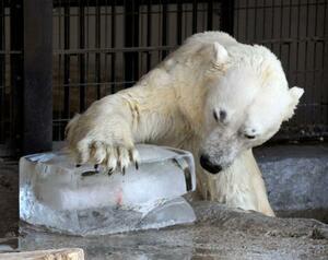 氷で遊ぶ旭山動物園のホッキョクグマ=1日午前、北海道旭川市