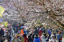 桜ほころび 弘前公園まつり開幕