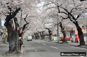 満開となった青森市桜川の桜並木=23日午前