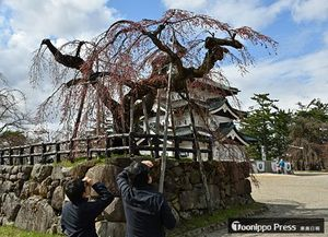 17日にも開花するとみられる、弘前公園本丸の「弘前枝垂れ」。既に花芽がほころび始めている=16日午後2時20分ごろ