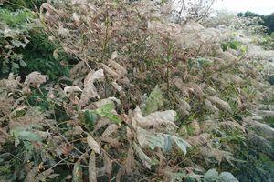 8月下旬から弘前市などで大量発生しているアメリカシロヒトリの「巣網」=平川沿い