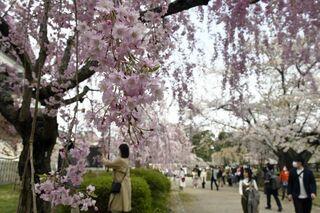 桜眺め癒やしの週末 弘前公園内は混雑も