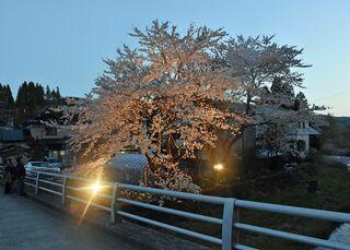 桜ライトアップ、目を楽しませる/新郷