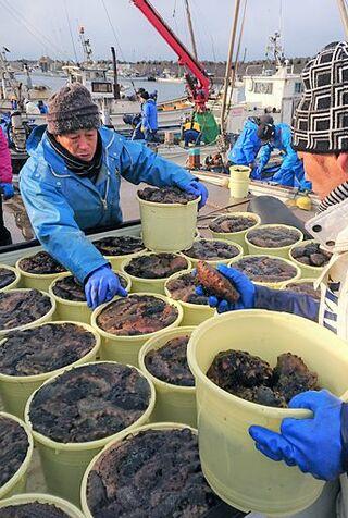 正月の味「横浜なまこ」水揚げ
