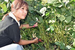 びっしりと実った「いたや毛豆」を収穫する櫻庭さん
