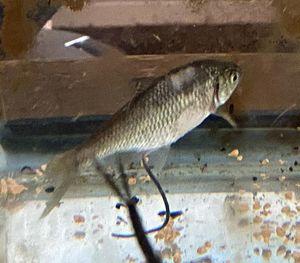 見つかった希少な淡水魚・タナゴ(六戸高校提供)