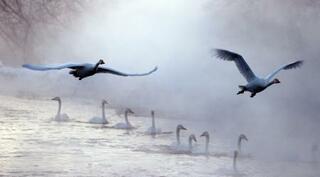 大寒の北海道、川霧にハクチョウ