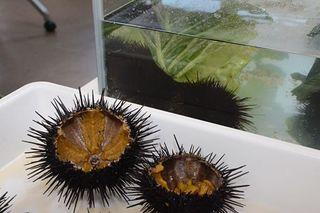 ウニの餌に野菜 実入り・味向上/むつで実験