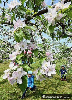 見頃になったリンゴの花の下を元気に走り回って遊ぶ子どもたち=11日、弘前市りんご公園