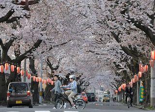 青森市で桜満開を観測、平年より7日早く